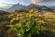 Impressionen vom Pass Stallerberg zwischen Juf im Averstal und Bivio im Surses an einem schönen Sommertag im August. Tüpfel-Enzian (Gentiana punctata) und Berge
