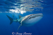whale shark ( Rhincodon typus ) and photographer<br /> off Keahou Bay on the Kona Coast of Hawaii Island<br /> ( the Big Island ) Hawaiian Islands ( Central Pacific Ocean ) MR 357