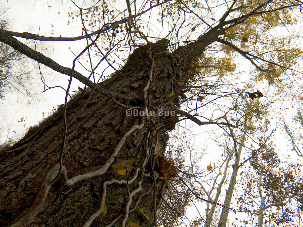 large tree at an upward angle
