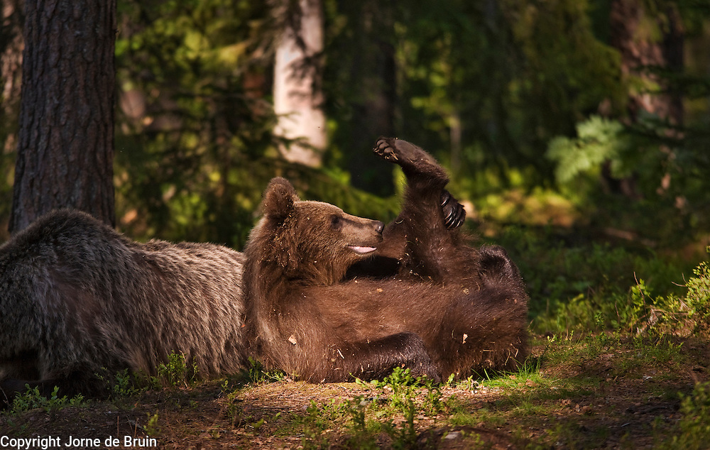 An Eurasian Brown Bear Cub lays on the ground playing in a forest in Finland.