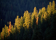 A stand of Ponderosa pine trees in the Plumas National Forest