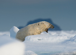 Polar Bear (Ursus maritimus) on drifting ice in front of the Ross Island, the most northern island on Svalbard