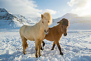Icelandic Horse walks on a frozen landscape in western Iceland.