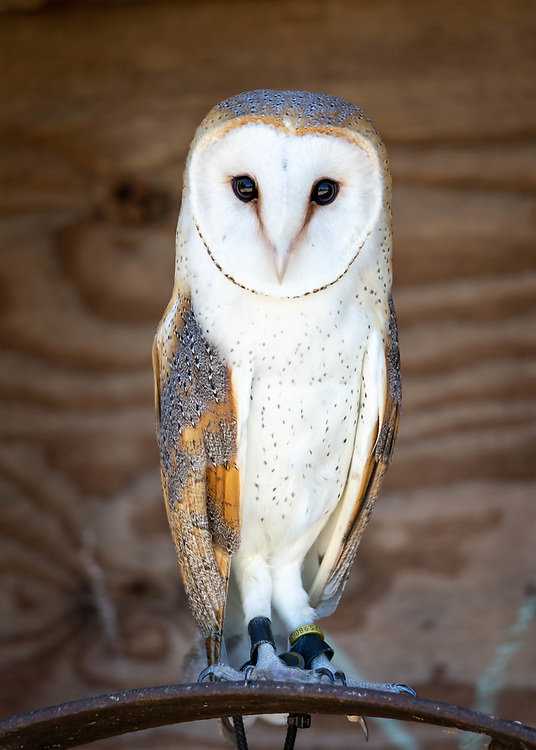 European Barn Own named Hush, in the care of Dianne Moller at the Hoo's Woods Raptor Center, near Whitewater, Wisconsin.