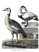 Machine colourised Egyptian Goose [Alopochen aegyptiaca] (Left) and Eider Duck Copperplate engraving From the Encyclopaedia Londinensis or, Universal dictionary of arts, sciences, and literature; Volume I;  Edited by Wilkes, John. Published in London in 1810