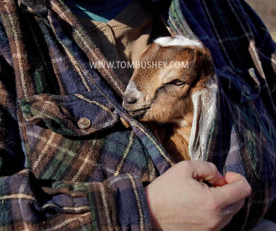 Cornwall, New York  - A baby dairy goat peeks out from under a person's shirt at Edgwick Farm on Feb. 4, 2012. ©Tom Bushey / The Image Works