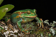 Marsupial frog(Gastrotheca orophylax)<br /> CAPTIVE<br /> Ecuador & Colombia<br /> ECUADOR. South America<br /> Threatened species due to habitat loss<br /> RANGE: Ecuador<br /> Andean & inter andean valleys north & central Ecuador. 2,600-3,100m.<br /> Endangered declining population