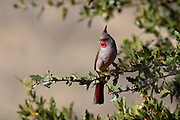 A Pyrrhuloxia (Cardinalis sinuatus) rests on a branch in Ash Canyon in the Coronado National Forest, Arizona.