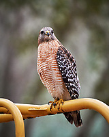 Red-shoulder Hawk at a playground. Brooker Creek Preserve, Pinellas County. Image taken with a Nikon Df camera and 300 mm f/4 lens (ISO 5000, 300 mm, f/4, 1/1250 sec).