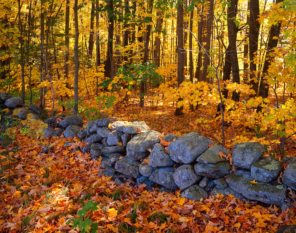 Old stone wall now in forest with leaf covered ground in fall, West Woodstock, CT