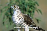 00784-00108 Cooper's Hawk (Accipiter cooperii) immature Starr Co. TX