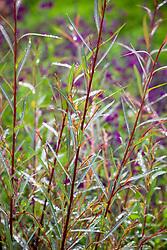 Salix purpurea 'Nancy Saunders' AGM. Willow