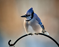 Blue Jay. Image taken with a Nikon D5 camera and 600 mm f/4 VRII lens