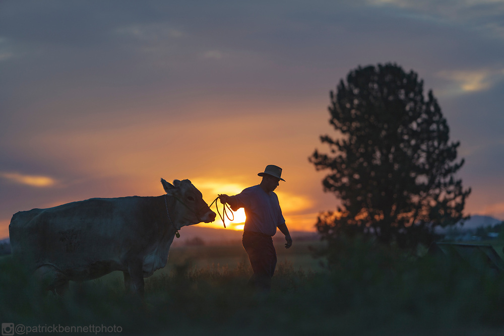 Leading a cow at dawn, Deer Park, WA.