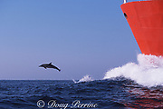 long-beaked common dolphin, Delphinus capensis, bow rides tanker ship off east coast of South Africa during Sardine Run