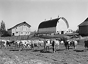 9969-2961. Hagg brothers dairy herd in the pasture near the barns. May 1, 1937. (published in the Oregonian, May 30, 1937. caption: One of Tualatin Valley's Many Fine Dairies. Part of the dairy herd of the David Hagg & Sons dairy farm, together with the main barn, some of the smaller barns and corrals, are shown in this photograph by Alfred A. Monner, who describes in the accompanying article some of the things that make this dairy near Reedville outstanding.)