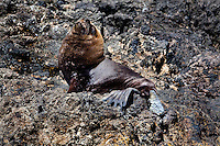 A South American Sea Lion (Otaria flavescens) rests on rocks along the coast of Chile.