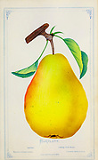 The Williams' bon chrétien pear, commonly called the Williams pear, or the Bartlett pear in the United States and Canada, is the most commonly grown variety of pear in most countries outside Asia. It is a cultivar (cultivated variety) of the species Pyrus communis, commonly known as the European Pear. The fruit has a bell shape, considered the traditional pear shape in the west, and its green skin turns yellow upon later ripening, although red-skinned derivative varieties exist. It is considered a summer pear, not as tolerant of cold as some varieties. It is often eaten raw, but holds its shape well when baked, and is a common choice for canned or other processed pear uses. from Dewey's Pocket Series ' The nurseryman's pocket specimen book : colored from nature : fruits, flowers, ornamental trees, shrubs, roses, &c by Dewey, D. M. (Dellon Marcus), 1819-1889, publisher; Mason, S.F Published in Rochester, NY by D.M. Dewey in 1872
