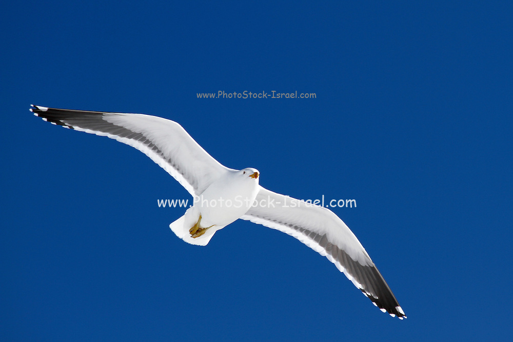 Kelp gull (Larus dominicanus) in flight. This seabird is found around the coasts of South America, South Africa, Australia, New Zealand and Antarctica. Its wingspan can be around 130 centimetres across. It feeds on fish, amphibians, bird's eggs, chicks and carrion. Photographed on Cuverville Island, Antarctica,