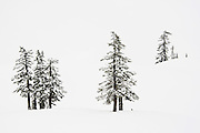 Pine trees in snow below Artist Point in the Mount Baker backcountry, Mount Baker-Snoqualmie National Forest, Washington.