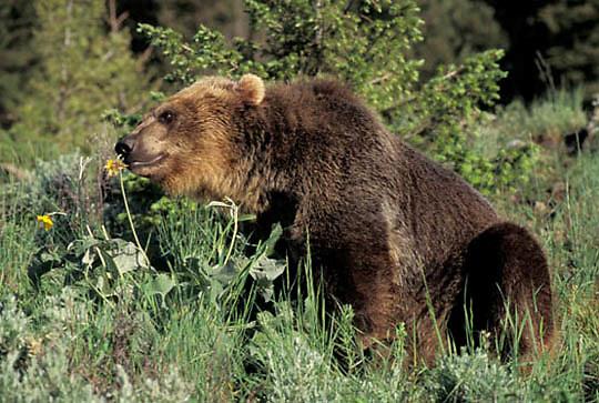 Grizzly Bear, (Ursus horribilis) Montana. Grizzly bear  eating flowers.  Captive Animal.