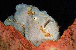 Antennarius coccineus, Sommersprossen Anglerfisch, Freckled Frogfish, Scarlet Frogfish, Tulamben, Bali, Indonesien, Indopazifik, Indonesia Asien, Indo-Pacific Ocean, Asia