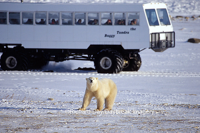 01874-061.05 Polar Bear (Ursus maritimus) & Tundra Buggy   Churchill  MB