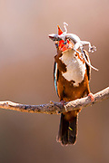 White-throated Kingfisher (Halcyon smyrnensis) with a gecko  in its beak, Negev, Israel