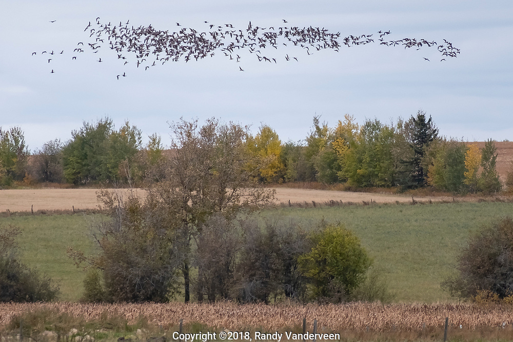 Photo Randy Vanderveen<br /> Grande Prairie, Alberta<br /> 2018-09-26<br /> A thick cloud of geese takes off from a small lake north of LaGlace and fly around the lake in a tight pattern before resettling on the surface of the water.