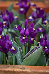 Iris reticulata 'Purple Hill' and the foliage of Tulipa 'Neper' in a terracotta pot