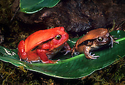 A female (left) and male tomato frog (Dyscophus antongilii), illustrating sexual dimorphism in the species, a native of Madagascar.