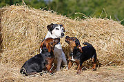 Hero worship as Jack Russell puppies look up to mature adult of the same breed , England, United Kingdom
