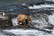An elderly adult grizzly bear boar known as Ears fishes for chum salmon in the upper McNeil River falls at the McNeil River State Game Sanctuary on the Kenai Peninsula, Alaska. The remote site is accessed only with a special permit and is the world's largest seasonal population of brown bears.