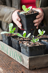 Pricking out Cerinthe seedlings into individual pots. Cerinthe major 'Purpurascens'