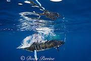 striped marlin, Kajikia audax (formerly Tetrapturus audax ), brings down a cloud of bubbles after striking a sardine with its bill at the surface, while feeding on baitball of sardines or pilchards, Sardinops sagax, off Baja California, Mexico ( Eastern Pacific Ocean ) (dm)