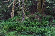 Sword Ferns (Polystichum munitum) under the forest canopy along Duck Creek. Photographed at Duck Creek Park on Salt Spring Island, British Columbia, Canada.