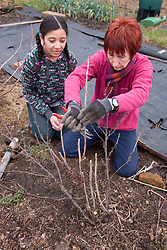Woman showing a girl how to prune a fruit bush on an allotment.