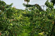 A cherry orchard on Hardanger Fjord, Vestlandet, Norway, Europe