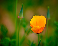 Yellow California Poppy flower.  Image taken with a Fuji X-H1 camera and 200 mm f/2 lens + 1.4x teleconverter (ISO 200, 280 mm, f/3.2, 1/420 sec)