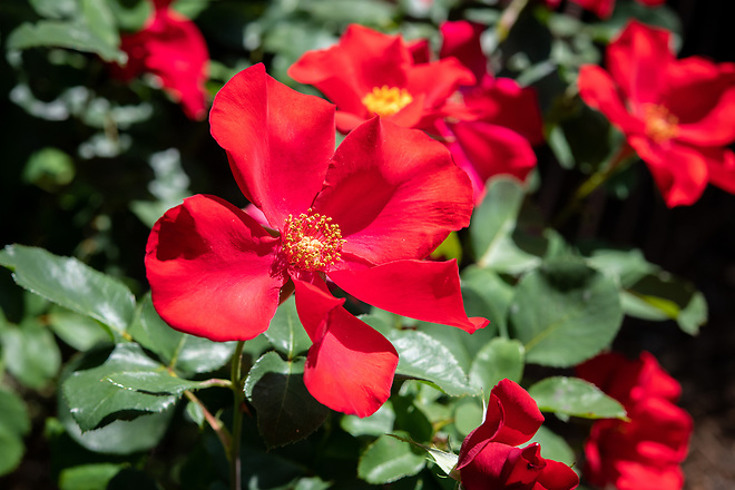 A home garden in the South Land Park area of Sacramento, California, features native plants such as rosa altissimo, or climbing rose, during the Sacramento Valley Native Plant Garden Tour. Photo taken April 27, 2019.  Florence Low / California Department of Water Resources, FOR EDITORIAL USE ONLY