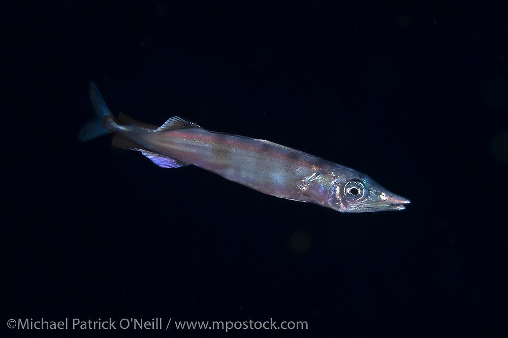 A post larval Wahoo, Acanthocybium solandri, approximately two inches in length, swims in the nighttime currents offshore Palm Beach, FL.
