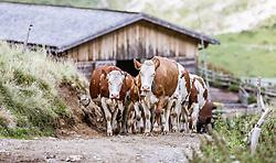 THEMENBILD - Kühe auf der Fürthermoar Alm, aufgenommen am 09. August 2018 in Kaprun, Österreich // Cows on the Fürthermoaralm, Kaprun, Austria on 2018/08/09. EXPA Pictures © 2018, PhotoCredit: EXPA/ JFK