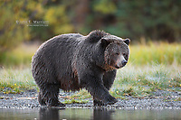 """Big Momma"" - grizzly bear"