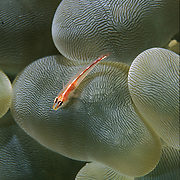 A common ghost goby (Pleurosicya mossambica) perches on the tentacles of a bubble coral (Plerogyra sinuosa); Komodo National Park, Nusa Tenggara, Indonesia