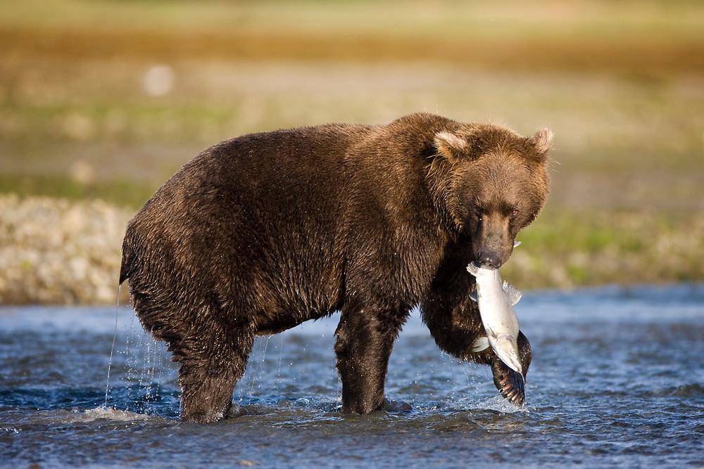 USA, Alaska, Katmai National Park, Kukak Bay, Brown Bear (Ursus arctos) catches spawning salmon in small stream on late summer morning