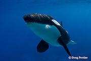 orca or killer whale, Orcinus orca (c,dc)