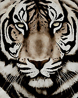 Combining brilliant whites with blacks, Jan Keteleer brings a supernatural degree of detail in this Portrait of a Tiger. Staring into the depths of this stunning piece, it is not difficult for one to become wholly lost in everything suggested by the eyes of this remarkable animal. This is a piece that speaks to those who truly love nature. –<br />