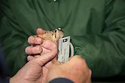 Measuring a woodcock bill to determine sex, near Bancroft, Wisconsin.