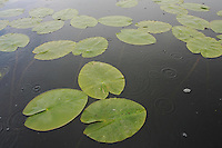 Yellow Water Lily (Nuphar luteum) in the Danube Delta, Romania. May 2009 <br /> Mission: Danube Delta