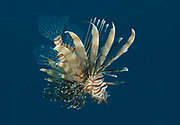 Red lionfish, Pterois volitans, hunting in Red Sea, Egypt